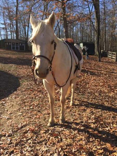 all round palomino horse for lovely home, Palomino Gelding for sale in New York