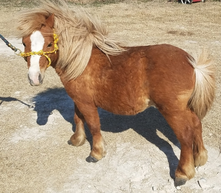 Glory's Peaceful Victory, Miniature Stallion for sale in Oklahoma