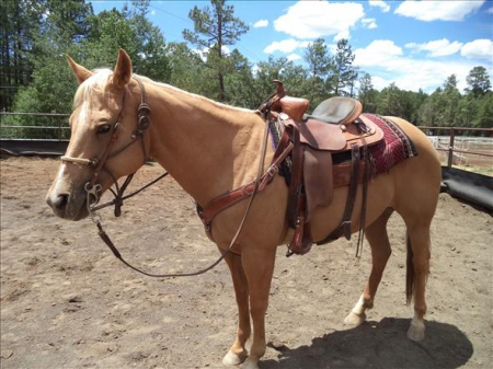palomino horse for sale , Palomino Gelding for sale in New York