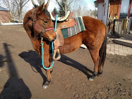 Baby, American Quarter Horse Filly for sale in Minnesota