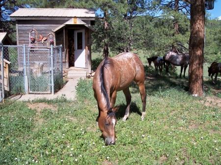 Zane's Bright Hope, Appaloosa Mare for sale in Colorado