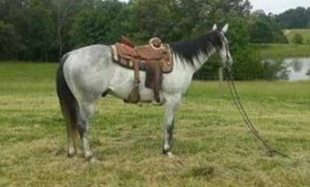 Denn, American Quarter Horse Gelding for sale in Kansas