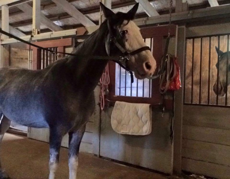 LUNA, Tennessee Walking Horses Mare for sale in Ohio