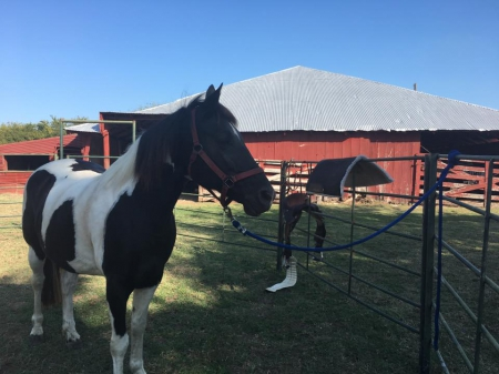 Oreo, Tennessee Walking Horses Mare for sale in Texas