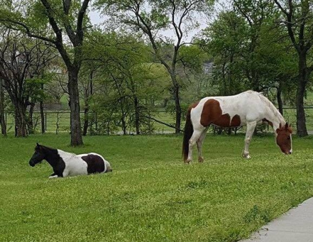 Twix, Tennessee Walking Horses Mare for sale in Texas