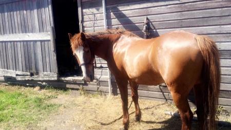Pip, Mustang Gelding for sale in Minnesota
