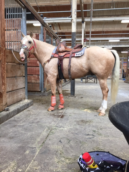 Skip My Golden Boy, American Quarter Horse Gelding for sale in Minnesota