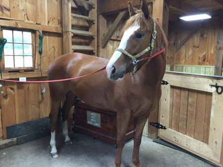 Lilly, Appendix Quarter Horse Mare for sale in Connecticut