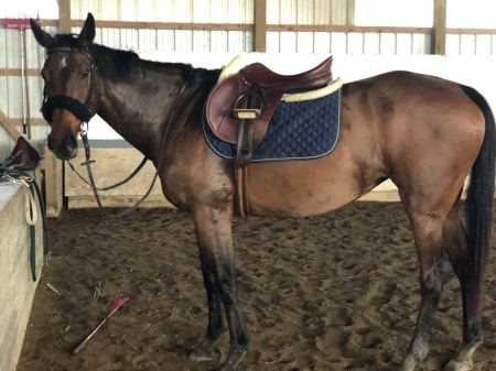 Viva, Thoroughbred Mare for sale in Michigan