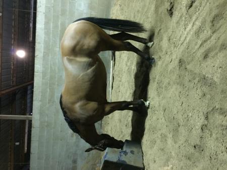 BPD Surprise Surprise, American Quarter Horse Filly for sale in Oregon
