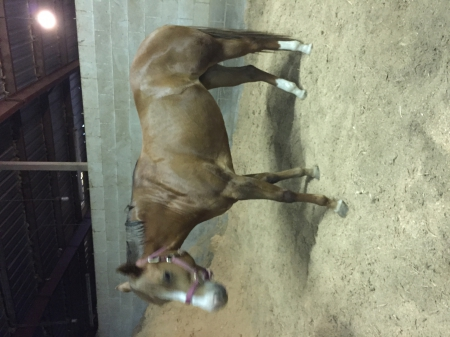Lt My Shady Secret, American Quarter Horse Mare for sale in Oregon