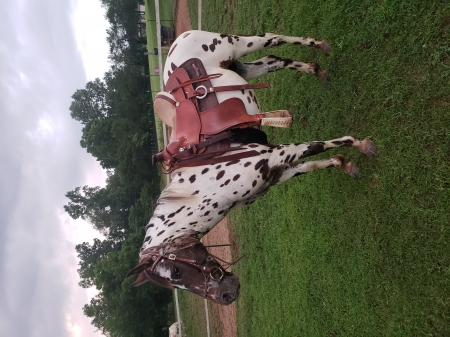 Montana , Appaloosa Gelding for sale in Tennessee