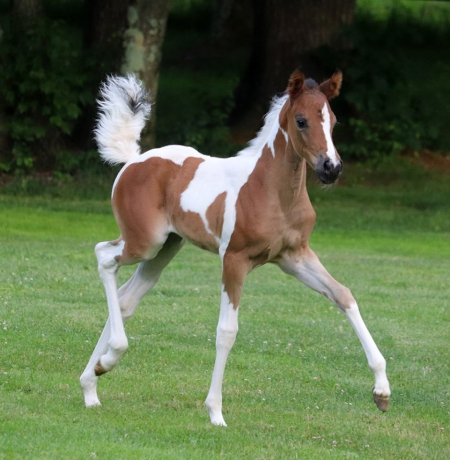 My Cash Alybi aka Venus, Half-Arabian Filly for sale in Pennsylvania