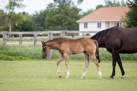 Pass the Pico, American Quarter Horse Filly for sale in Minnesota