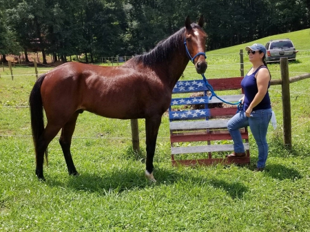 Merlot is a Gorgeous Bay TWH/MFT Gaited Trail Horse, Missouri Fox Trotting Horse Gelding for sale in Georgia