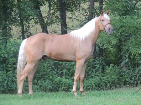 Glory's Preacher Man is a Registered Missouri Foxtrotter Palomino Gelding , Missouri Fox Trotting Horse Gelding for sale in Missouri