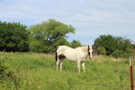 Powered By Avenger, Tennessee Walking Horses Gelding for sale in Oklahoma