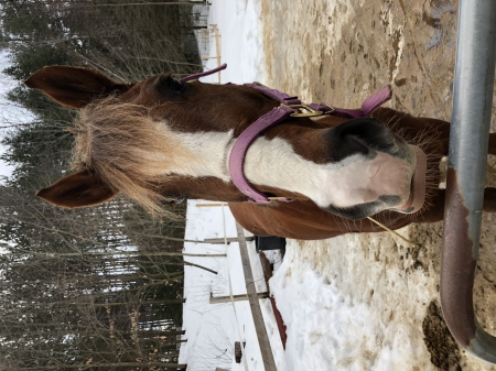 Gidget, Appaloosa Mare for sale in New Hampshire