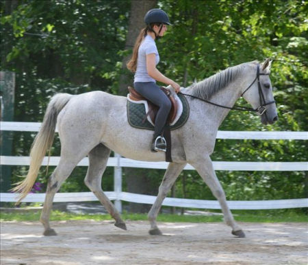 Warmblood Mare (Grey), Warmbloods (All) Mare for sale in South Carolina