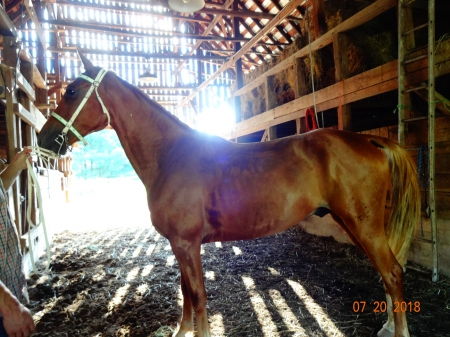 Stroker, Tennessee Walking Horses Gelding for sale in Kentucky