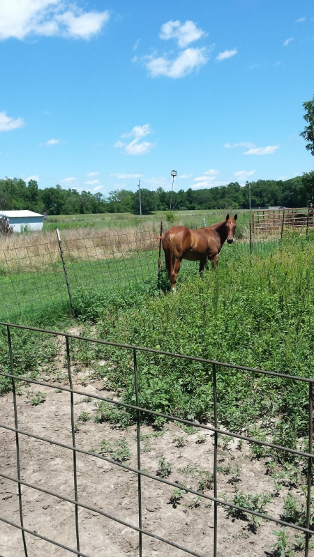 PatronLimitedEdition, American Quarter Horse Gelding for sale in Missouri