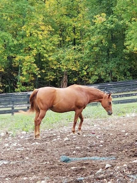 Revenues Lark, Granddaughter of the Famous RUGGED LARK!, American Quarter Horse Mare for sale in New York