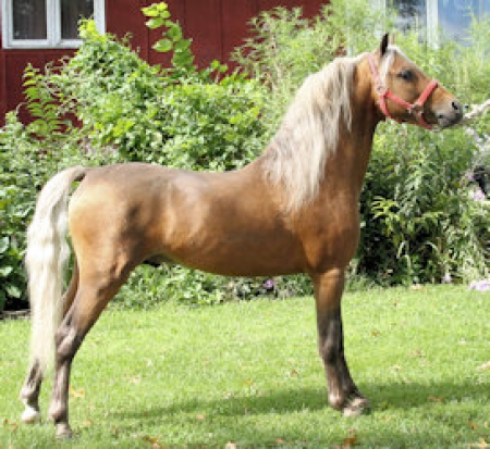 Registered Shetland Pony Retirement Herd Sale, Shetland Pony Stallion for sale in Iowa