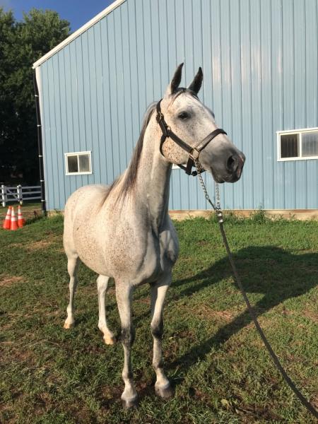 PRESIDIO VANDOS (BEAU), Arabian Gelding for sale in Illinois