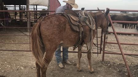 Red, Mule Gelding for sale in Texas