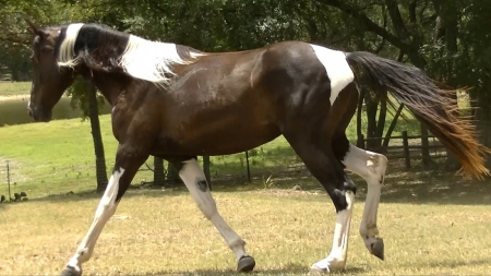 Sure Lucks Spotted Ivy, Missouri Fox Trotting Horse Mare for sale in Texas