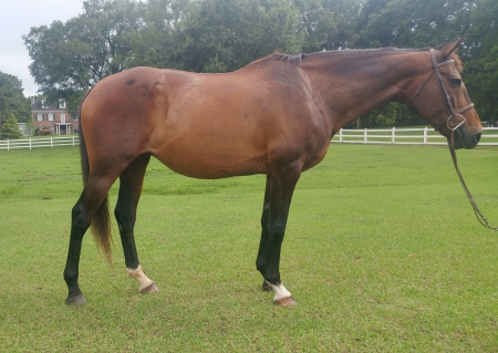 Arabella, Warmbloods (All) Mare for sale in Alabama