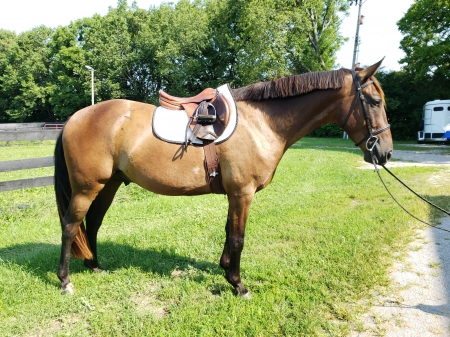 Legacy, Morgan Gelding for sale in Kentucky