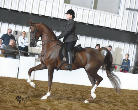 Steller One - Rides and Drives, American Saddlebred Gelding for sale in Ohio