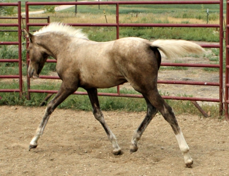 NSS Southernality (raf), Morgan Colt for sale in North Dakota