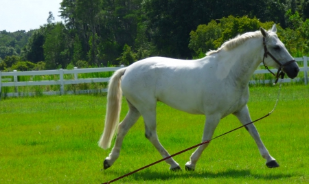 Tink, Draft Cross Mare for sale in Florida