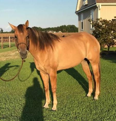 Gorgeous Red Dun Registered Quarter Horse, American Quarter Horse Mare for sale in North Carolina