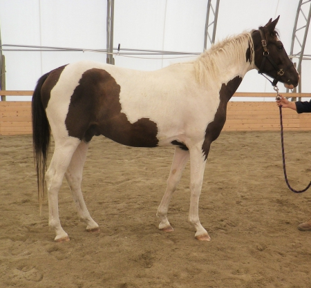*Imagine De Lully, Warmbloods (All) Gelding for sale in British Columbia