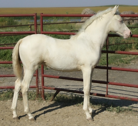 NSS Starbright (2018 Cremello Morgan Filly), Morgan Filly for sale in North Dakota