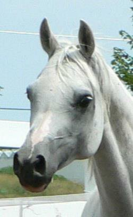 MVA Heavens Grace, Arabian Mare for sale in Maine