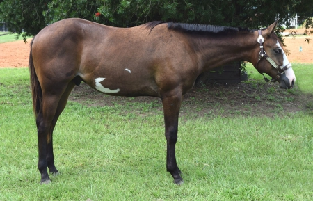 Check Your Six, American Paint Horse Association Gelding for sale in Florida