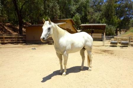 Dee Luras Supreme, American Quarter Horse Gelding for sale in California