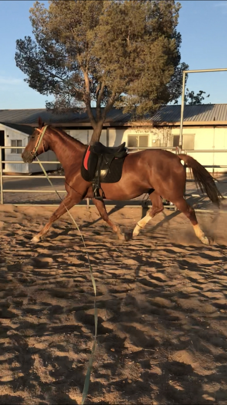 Lizzy's Express (Elizabeth), Thoroughbred Mare for sale in California