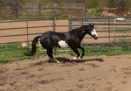 Jack, American Paint Horse Association Gelding for sale in Florida