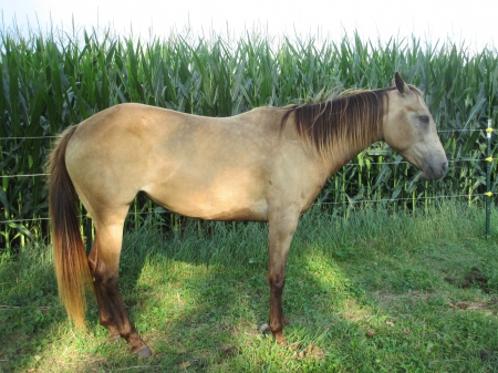 Ember, American Quarter Horse Filly for sale in Illinois