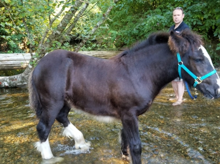 North Fork Rorschach's Swann, Gypsy Cob Filly for sale in British Columbia