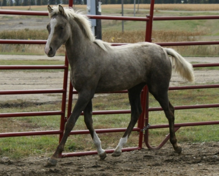 NSS American Honey, Morgan Filly for sale in North Dakota