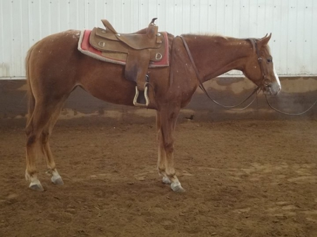 Luke But Don't Touch, Appaloosa Mare for sale in Missouri