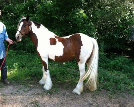 trained gypsy vanner horse, Gypsy Vanner Gelding for sale in New York