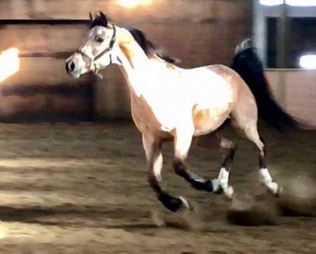 Skippy Jon Jones, Arabian Gelding for sale in Idaho