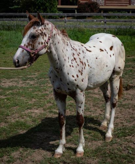 ima doc's aces high, Appaloosa Colt for sale in Wisconsin